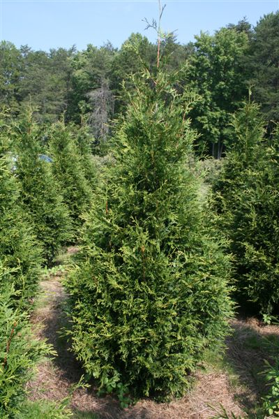 Pin Thuja Green Giant Arborvitae On Pinterest